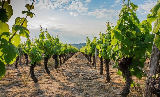 Plants de vignes en Ardèche