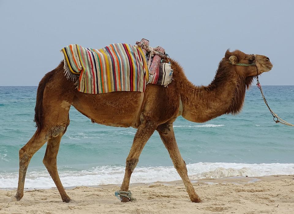 Balade en chameau sur la plage au Maroc