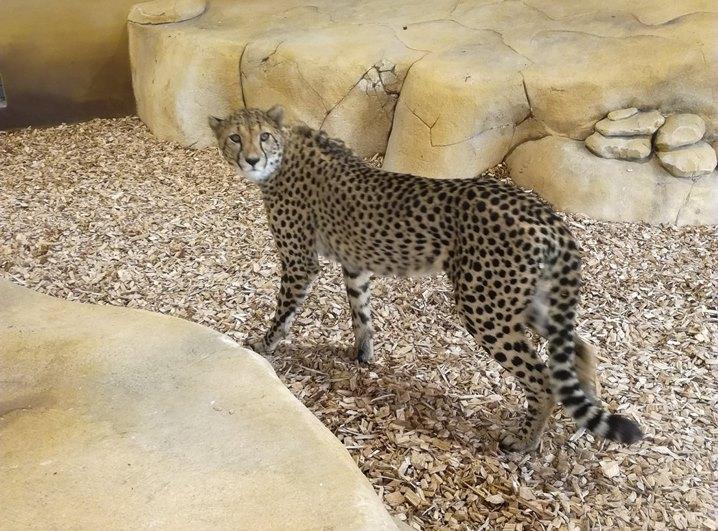 Guêpard du zoo de Beauval