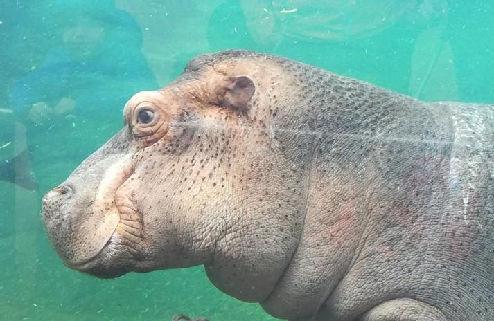 Hippopotame du Zoo de Beauval