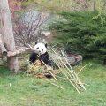 Panda Huan Huan