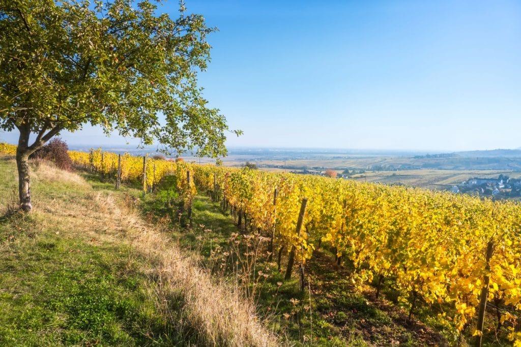 Vignoble alsacien en automne